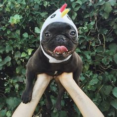 """""""Look, I'm a Chicken!"""", French Bulldog in Costume.  Repinned by Hale Harden   #HHLifestyle #HaleHarden #LuxuryLife #Frenchies"""