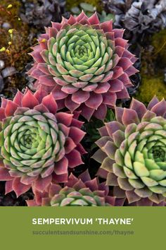 Types Of Succulents, Planting Succulents, Planting Flowers, Indoor Flowering Plants, Tall Plants, Cactus, Die Macher, Sempervivum, Succulent Care