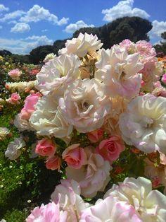 Rosas en la Rosaleda