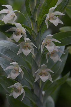 Orchid: Dichaea glauca
