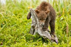 playing cub - A bear cub playing with a dead tree