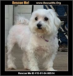 Rescue Me ID: 15-01-04-00514Zoey (female)  Maltese    Age: Adult  Compatibility:	 Good with Most Dogs  Personality:	 Average Energy, Average Temperament  Health:	 Spayed, Vaccinations Current       Zoey is a beautiful Maltese girl that is about 7 years old and seems to be the picture of health. She loves to run and play and she has a lot of energy. She is a diva in every sense. She will be spayed this coming week and then she will be ready for adoption.   Adoption Fee: $150Animal ...