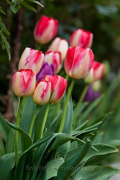 Plant tulip bulbs Now, to show off in the Spring.