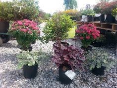 Planning a flowerbed for a customer: Monarda Bee Balm, heuchera, Sedum seiboldi, and azaleas: Beautiful combinations! Heuchera, Flower Beds, The Hamptons, The Balm, Landscaping, Bee, Home And Garden, Exterior, Plants