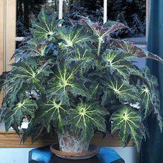 Begonia Palomar Prince