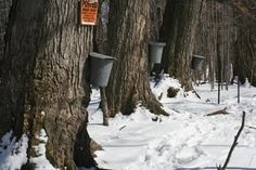 Maple Syrup - Maple sugaring is Michigan's oldest agricultural activity. In 2011, Michigan produced 123,000 gallons of maple syrup, ranking it 7th nationally. The economic contributions of the pure maple syrup industry to Michigan are nearly $2.5 million annually. From Promote MI, 1114