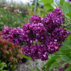 The Common or French Lilac; a hardy spring blooming shrub that smells like heaven. Purple lilacs stand for the first emotion of love. Korean Lilac Tree, Lilac Flowers, Lilac Bushes, Plants, Flowering Shrubs, Shrubs, Syringa Vulgaris, Garden Plants, Lilac Gardening