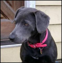Looks like my puppy<3 except mine is a boy. Texas Blue Lacy Dog, official state dog of Texas