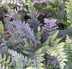 Buy Polystichum setiferim Plumosum online from Jacksons Nurseries.