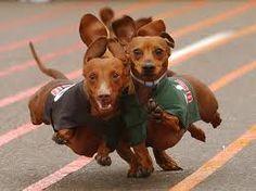 running dachshaunds