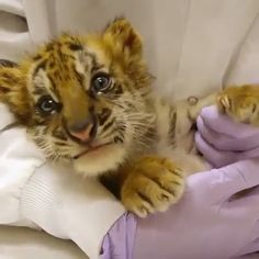 Haven't seen this before in my life cute tiger baby please follow Animals Board for more videos