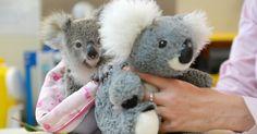 Coala órfão encontra consolo em bicho de pelúcia na Austrália