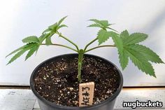 Main lining cannabis plants for 8 total nodes to get the most out of your plant - DIY Guide - Zenpype Cannabis News Feed Hydroponic Grow Systems, Hydroponic Farming, Hydroponics, Marijuana Leaves, Marijuana Plants, Cannabis Plant, Gardens, Frases, Medical Marijuana