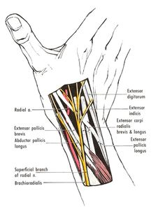 "The ""anatomical snuff-box."" The radial artery lies on the floor of the snuff-box, which is formed by the scaphoid and trapezium Gross Anatomy, Human Body Anatomy, Yoga Anatomy, Muscle Anatomy, Occupational Therapy, Physical Therapy, Arteries Anatomy, Medicine Notes, Medical Anatomy"