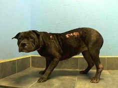 SAFE --- URGENT - Brooklyn Center    MYSTQUE - A0986864     FEMALE, BL BRINDLE / WHITE, PIT BULL MIX, 5 yrs...  OWNER SUR - EVALUATE, NO HOLD Reason PET HEALTH  Intake condition ILLNESS Intake Date 12/07/2013, From NY 11693, DueOut Date 12/10/2013,     https://www.facebook.com/photo.php?fbid=230181170483221&set=a.210352005799471.1073741841.176246809209991&type=3&theater#!/photo.php?fbid=721411674538381&set=pb.152876678058553.-2207520000.1386544976.&type=3&theater