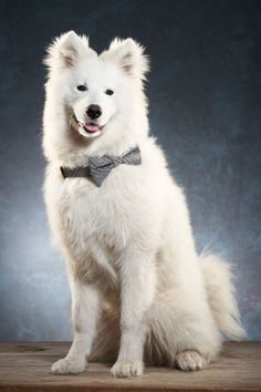 Samojed valp fotografert mot blågrå bakgrunn i studio. Vakker hund med myk og god pels. Types Of Animals, I Love Dogs, Animal Kingdom, Pet Care, Husky, Psi, Fine Art, Studio, Pictures