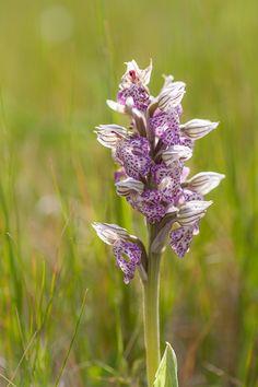 https://flic.kr/p/GqHBhC | Neotinea lactea | Milky Orchid, growing in the wild, on Crete, Greece
