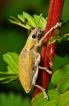 Gold Dust Weevil (Hypomeces squamosus) ~ By John Horstman