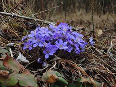 These were hard to miss  . . #springisfinallyhere #springmood #springfeeling #springishere #moraviankarst #moravskykras #czech #czechrepublic #igerscz #morava #czech_world #czechphotography #czechnature #springflowers #springblooms #forestflowers #blueflower #hikingadventures #hikingtrails #hikingculture #hikinglife #hikingtrip #springhike #outdoorslife #naturelovers #naturepics #forestlife #travellove #gaytravel #gaylife