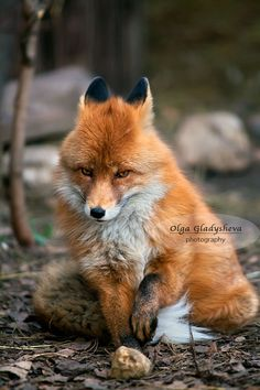 Red Fox by Olga Gladysheva All Dogs, Dogs And Puppies, Animal Pick, Animals Beautiful, Cute Animals, Fantastic Fox, Fox Pictures, Wild Animals Photos, Little Fox