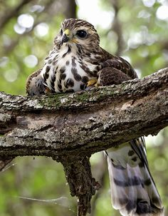 The African Goshawk - Accipiter tachiro, Beautiful Birds, Beautiful World, Beautiful People, African Animals, African Safari, Small Birds, Pet Birds, Gardens Of The World, Bird Calls