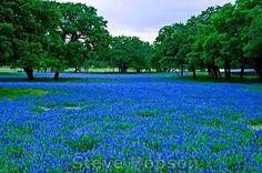 Texas Bluebonnets & Oaks/Pecan Trees