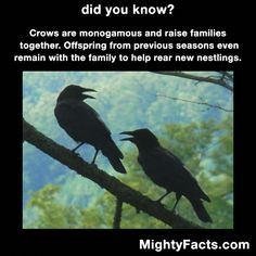 Hm, I know one Crow that's not. Animals And Pets, Funny Animals, Cute Animals, The More You Know, Did You Know, Crow Facts, Beautiful Birds, Animals Beautiful, Animal Facts