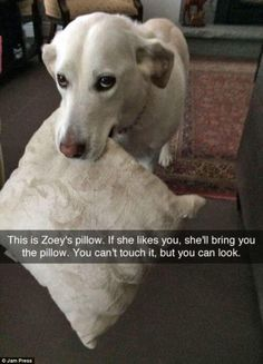 One adorable dog was pictured carrying her favourite cushion - that closely resembles her own fur