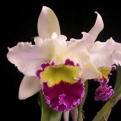 Cattleya #orchid #flower – learn 2 #grow #cattleya http://www.growplants.org/growing/cattleya