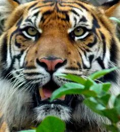 Taken by Curtis Tanner Jacksonville Zoo, Tigers, Lion, Animals, Leo, Animales, Animaux, Lions, Animal