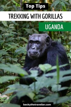 Gorilla Trekking in Uganda. All you need to know about gorilla trekking in East Africa. Top tips for gorilla trekking in Uganda. Includes what to wear for your gorilla trekking experience and what to take on your gorilla trekking adventure East Africa, North Africa, Travel Inspiration, Travel Ideas, Gorilla Trekking, Animal Experiences, Travel Tips For Europe, Virtual Travel, Wildlife Safari