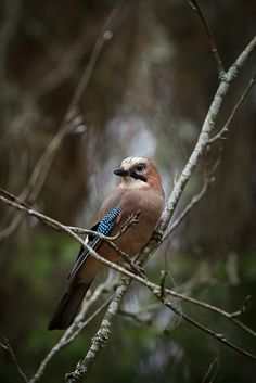 Eurasian Jay. As a child I had a collection of the blue/black/white feathers that I found sometimes in the forest.