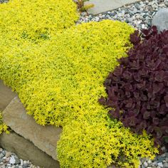 Buy sedum plants for easy care ground cover! Our hardy sedum and sedum sod provide colorful, drought-resistant beauty for your perennial sun garden. Sun Plants, Garden Plants, Small Plants, Landscaping Plants, Front Yard Landscaping, Landscaping Ideas, Red Creeping Thyme, Sedum Ground Cover, Landscape Design
