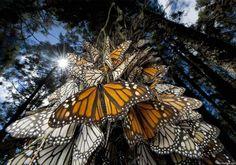 Milhões de borboletas monarca viajam (em migração) para as florestas do México.