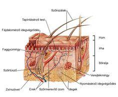 A bőr szöveti szerkezetét ábrázoló rajz
