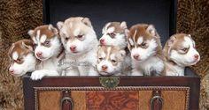 Siberian Husky Puppies! - 50 Cute Puppies I Adore  <3 <3