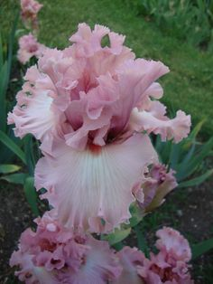 Hollywood Star pink iris.