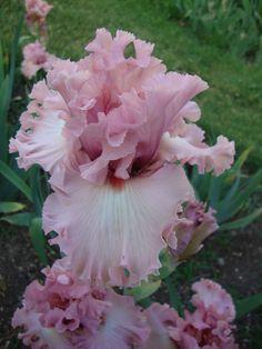 Hollywood Star pink iris.