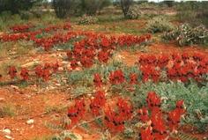 Wildflowers Archives - Australia by Red Nomad OZ Australia Time Zones, Australian Wildflowers, Australian Plants, Amazing Flowers, Western Australia, Wild Flowers, Aliens, Outdoor, Butterflies