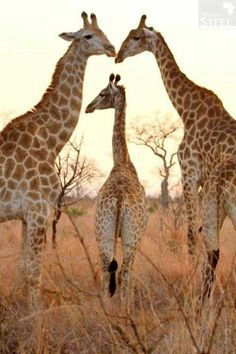 Family shot of giraffes in Kruger National Park. - William Steel Photography