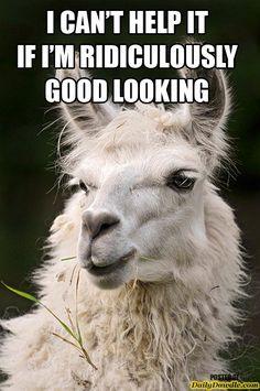 Cute llama!!! Google Image Result for http://images.dailydawdle.com/funny-looking-llamas1.jpg