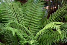 Discover how to grow all kinds of ferns, including advice on planting, care and cutting back, in this expert guide from BBC Gardeners' World Magazine.