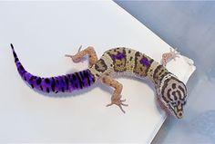 Hypo Grape Tail Leopard Gecko