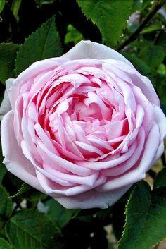 ~Moss Rose: Rosa 'Madame Louis Lévêque' (France, 1898)