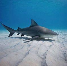 Bull Shark Cruising The Sandy Bottom.