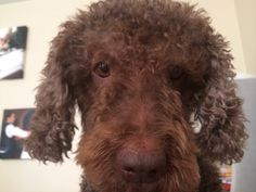 Izze, frizzy, pretty eyes... Spanish Water Dog...
