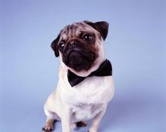How to Make Bow Ties for Pets | #bow #tie I will be making jasper and Miri one! @Ben Silbermann Weber