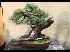 DEMONSTRATION    BONSAI     MALAYSIA