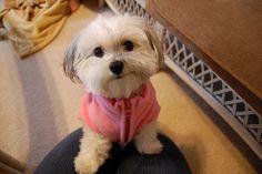 #maltipoo #dogs #cute :)
