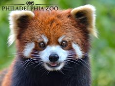Red pandas in the wild are endangered due to habitat loss, but can be found at Philadelphia Zoo in Carnivore Kingdom. Philadelphia Zoo, Bamboo Shoots, Eat Fruit, Animals Of The World, Mammals, Habitats, Squirrel, Red Pandas, Birds